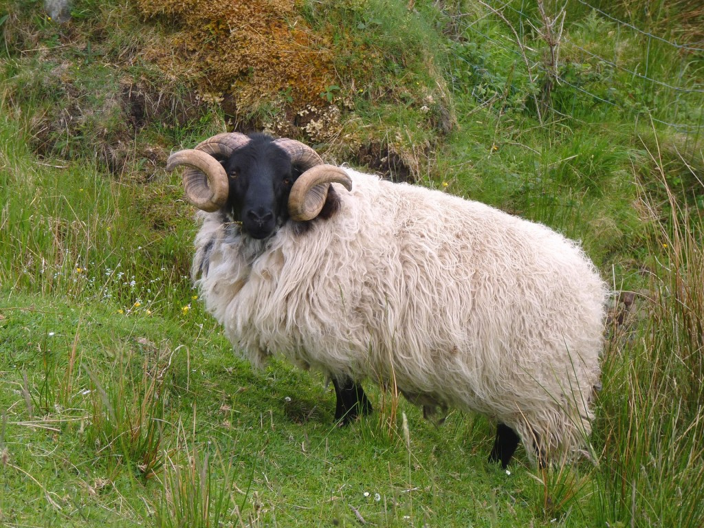 Will God Provide? A ram in the wilderness, perhaps like the one Abraham found caught in a thicket, so that he didn't need to sacrifice his son.