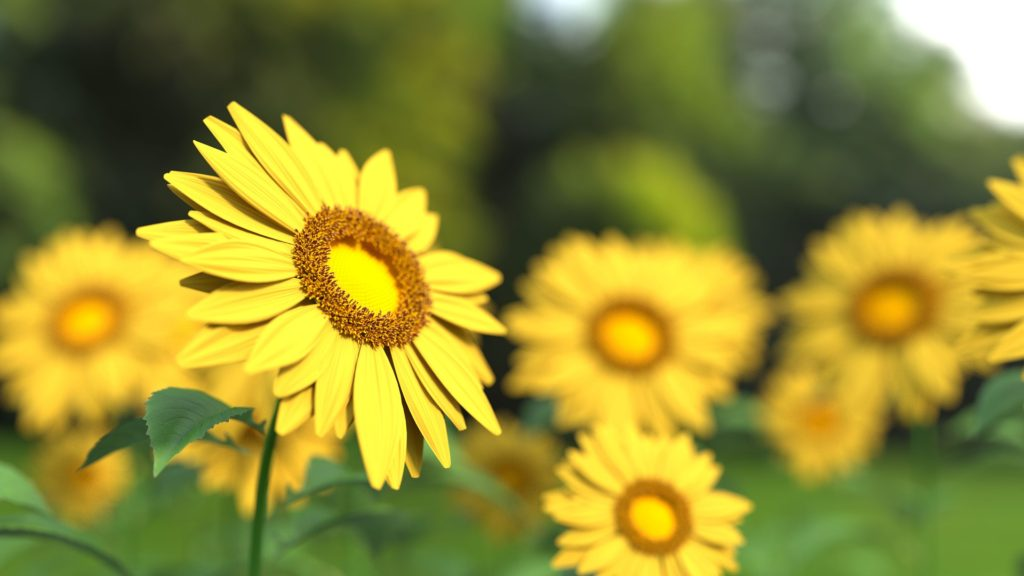 One sunflower, in focus, facing the sun in a field of sunflowers, not in focus